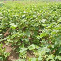 Un champ d'expérimentation du coton pour améliorer la production ©Iwacu