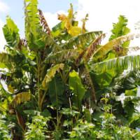 Des bananes déjà infectés par le BXW sur la colline Nyabitabo, commune Mabanda en province Makamba ©Iwacu