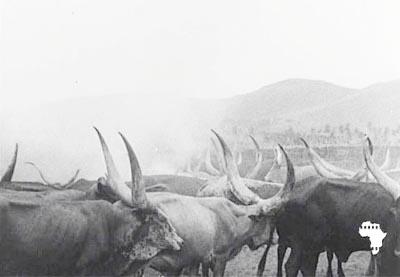 Ces vaches qui ne donnaient presque plus rien, … sauf un certain prestige ©Iwacu