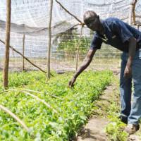 Jean-Claude Bigirimana, agronome, sur le site de multiplication de la Stevia à Musenyi (Bubanza) : « La plante va dépasser le stade de bouture si le travail n'est pas repris » ©Iwacu