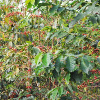 Café : des fertilisants et insecticides bientôt disponibles