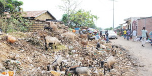 Des chèvres en train de brouter  sur le tas d'immondices ©Iwacu