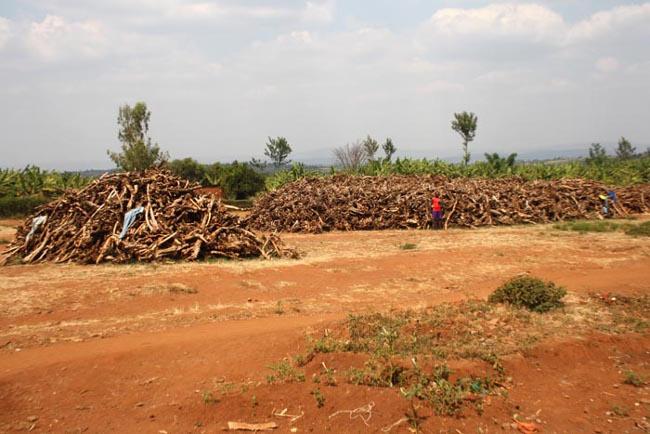 158 tonnes de bois de santal rassemblées au terrain de Ryagihana (12 Km du chief-lieu de la province Kirundo). Prix d'achat : 401.864.450 Fbu  ©Iwacu