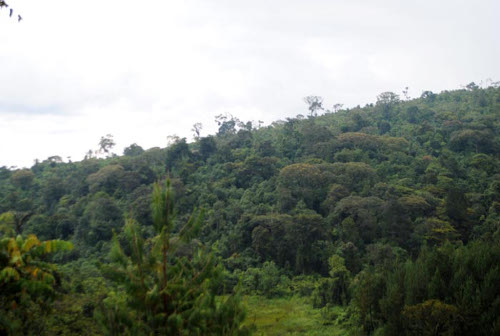 Une partie de la forêt de la Kibira, côté Rugazi ©Iwacu