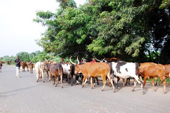 Des vaches errant le long de la route Bujumbura-Rugombo, après la destruction des étables par des militaires ©Iwacu