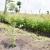 Dégagée, la zone tampon du lac Rweru est occupée par des penissetum  et d'autres plants d'arbres  ©Iwacu