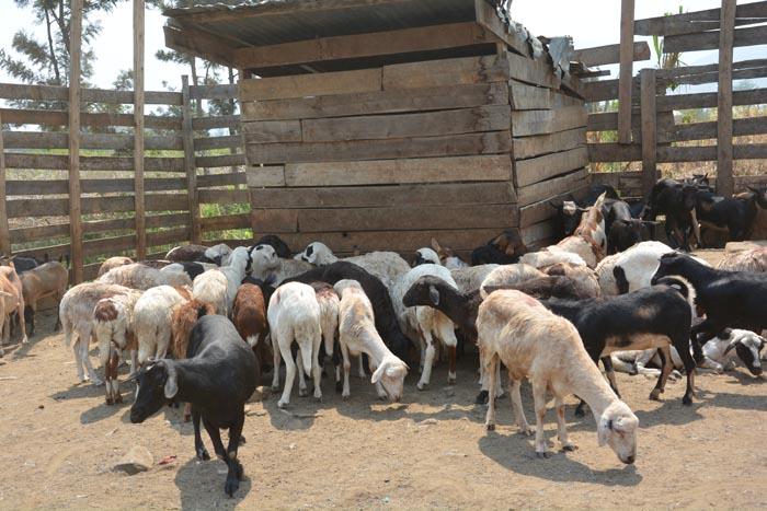 A la veille de la fête du mouton, les clients désertent les marchés inondés par les moutons et les chèvres ©Iwacu
