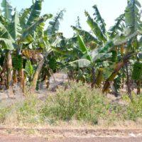 Muyinga : la province « bananière » brade sa production