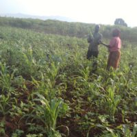 Cibitoke-Rugombo : les chenilles ravagent les champs de culture