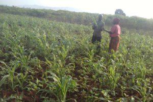 Un champ de maïs ravagés par des chenilles dans la commune Rugombo de la province Cibitoke