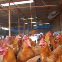 La grippe est une maladie virale, contagieuse, souvent mortelle, infectant principalement les volailles.