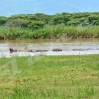 Mardi, 21 mars 2017 - A l'occasion de la journée internationale des forêts Iwacu a fait un reportage dans le parc de la Rusizi. Des hippopotames vivent en colonies ©Onesphore Nibigira/Iwacu