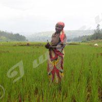 Carine Bavumiragira dans son compartiment où elle multiplie de bonnes semences pour la vulgarisation.