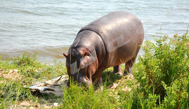Envahis dans leurs habitats, les hippos se perdent