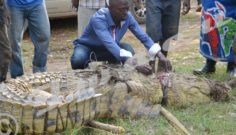 Un crocodile blessé par les braconniers sauvé