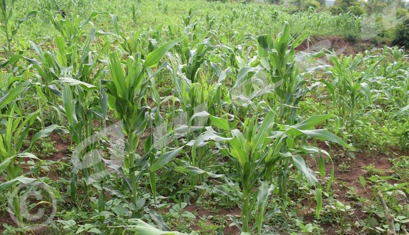 Bubanza : Les chenilles dévastent les champs de maïs