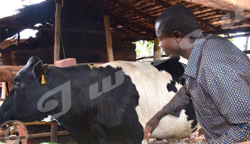 Gitaramuka: quand l'élevage de vaches sauve des vies