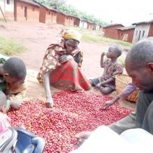 Les caféiculteurs préfèrent désormais traiter leurs cerises pour vendre un produit semi-fini ©Iwacu