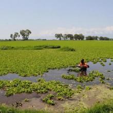 Une des lagunes envahie par la jacinthe d'eau et des journaliers de la Setemu, sans aucune protection, essaient de l'arracher ©Iwacu