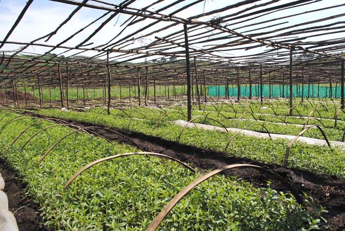 Une pépinière des plants de la stevia à Kigarama, commune Ndava, province Mwaro ©Iwacu