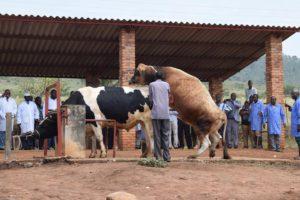 Une séance de collecte de spermes pour l'obtention des semences bovines destinées à l'insémination artificielle