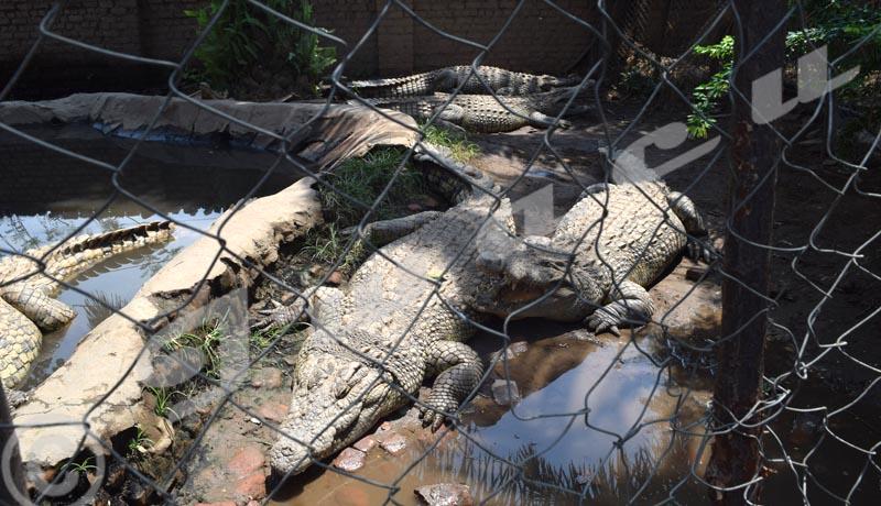 Des crocodiles ''emprisonnés '' par amour