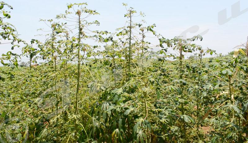 Rumonge : Les cultivateurs s'alarment de la réapparition de la mosaïque