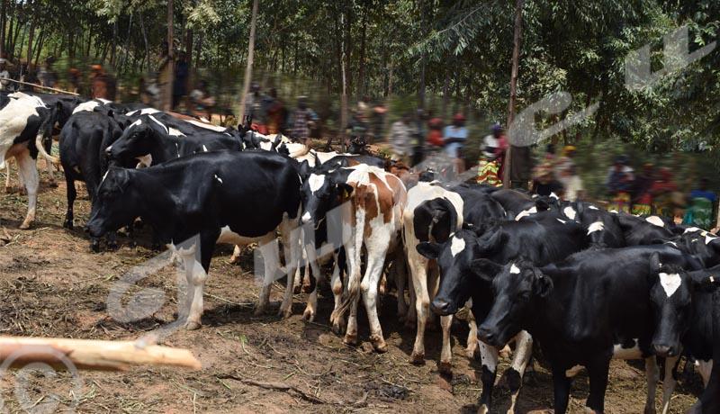 Ngozi : Des bénéficiaires des bovins du Prodefi contrariés