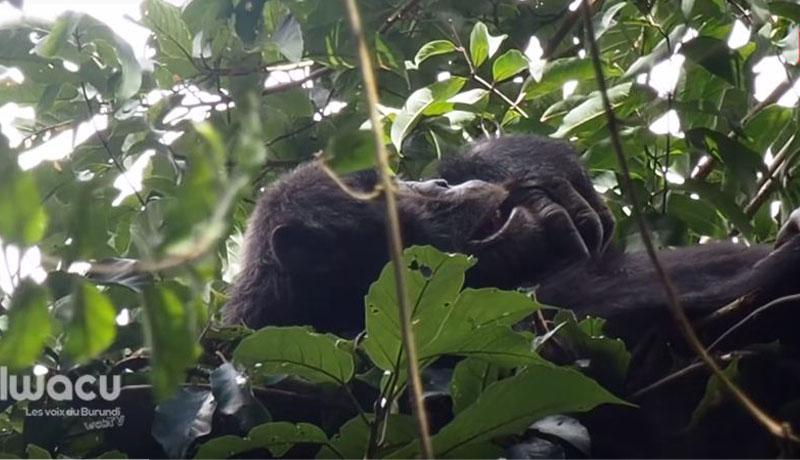 Environnement : A la rencontre des chimpanzés du sud