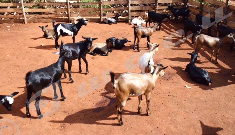 Ngozi/Tangara : Le petit bétail atteint d'une peste