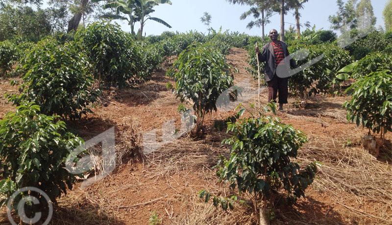 Busiga : les cultures intercalaires pour le bonheur des caféiculteurs