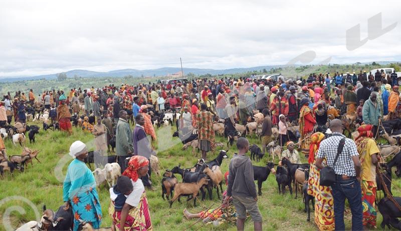 Peste caprine : Les communes pleurent leurs chèvres