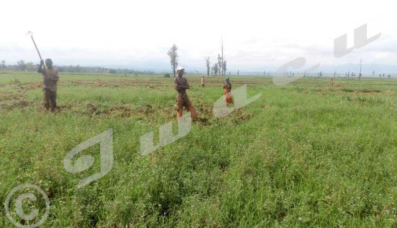 Cibitoke/Rugombo Contraints à travailler dans les champs en RDC