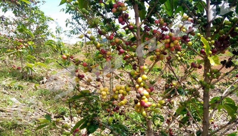 Kayanza : Où vendre le café washed déjà traité par les caféiculteurs?