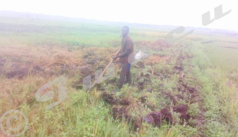 Région Ouest/Cibitoke:Les agriculteurs réclament l'engrais chimique