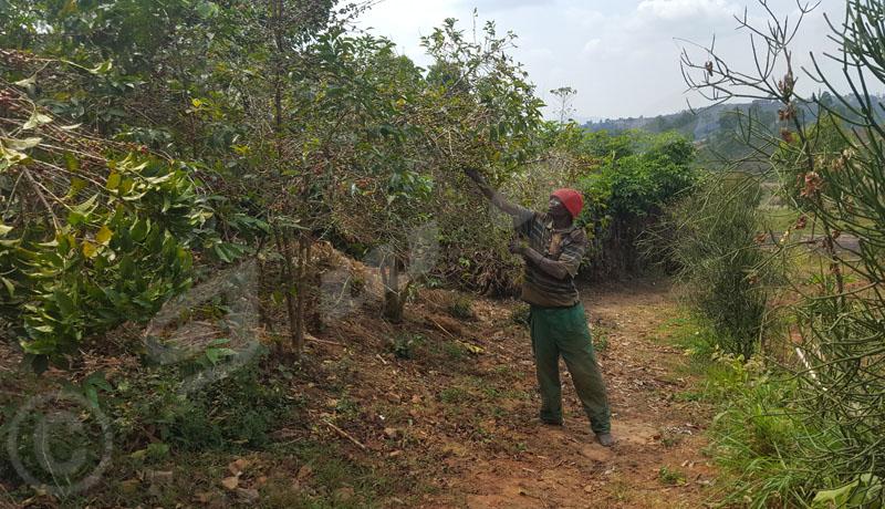 Kayanza : les cerises peinent à mûrir, les caféiculteurs sont inquiets