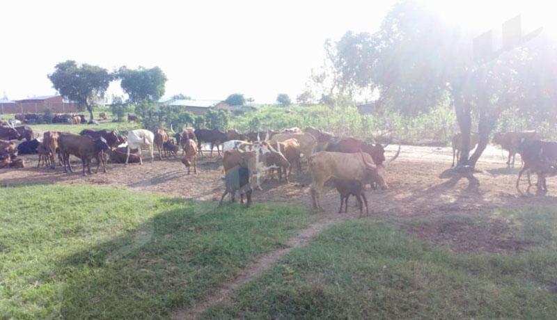 Communes Rugombo et Buganda : Quand les agriculteurs et les éleveurs se regardent en chiens de faïence