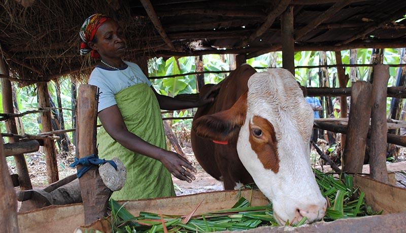 La fièvre aphteuse menace les vaches à Cibitoke
