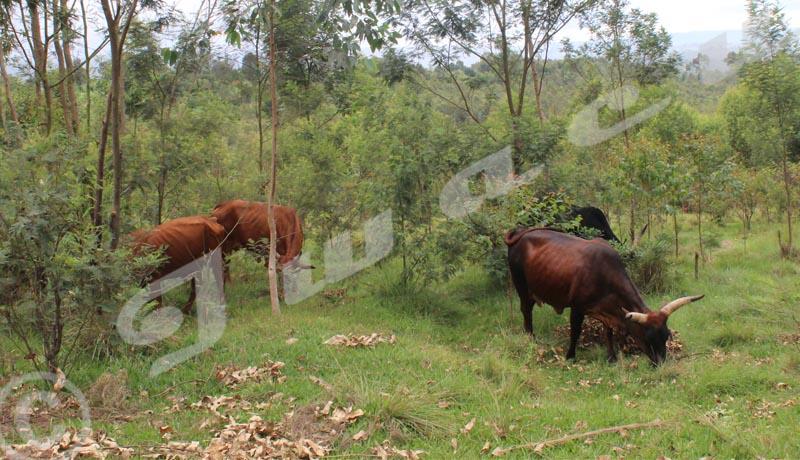 Région Bututsi et Mugamba : les éleveurs forcés de vendre leurs troupeaux à vil prix