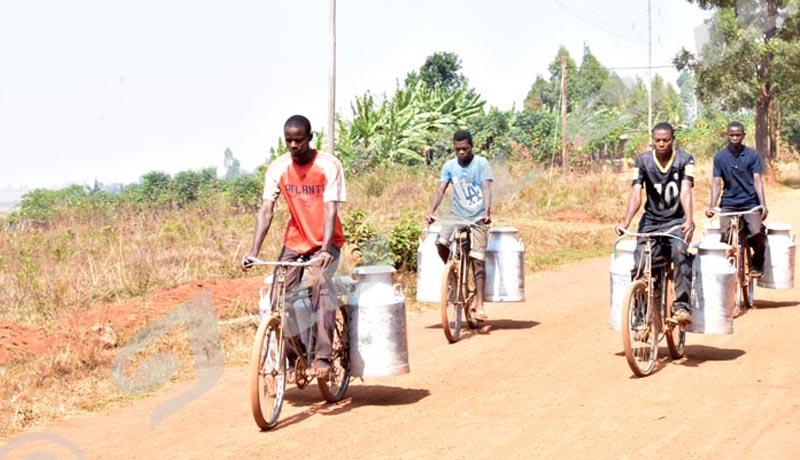 Élevage en stabulation permanente : craintes d'une hausse de prix du lait à Bujumbura